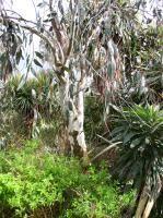 Myrtaceae Eucalyptus pauciflora ssp. niphophila