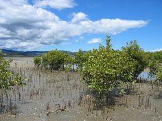 laguncularia racemosa (mangue branco) - Pesquisa Google