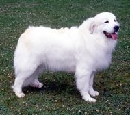 The Great Pyrenees Dog Breed: The Great Pyrenees is a capable and imposing guardian, devoted to her family and somewhat wary of strangers, human or canine. Top Dog Breeds, Great Pyrenees Dog, Farm Dogs, White Dogs, Dog Show, Mountain Dogs, Working Dogs, Dogs And Puppies, Big Dogs