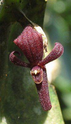 vampire orchid