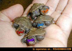 Las Tortugas Ninja de bebés.