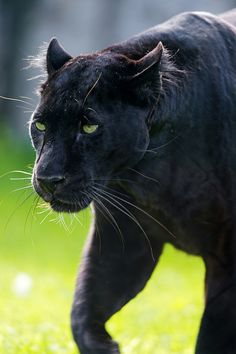 Walking Blacky by Tambako the Jaguar | Stunning