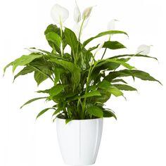 Fredskalla - Robust, blommande grön växt med rikligt med kraftigt gröna och skinande lansettformade blad. ...