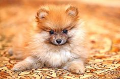 This Pom cutie is waiting for you to find the perfect Pomeranian name here>>> http://www.dog-names-and-more.com/pomeranian-names.html
