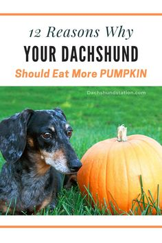Reasons Why You Should Give Your Dachshund Pumpkin. awesome reasons why your dachshund should eat pumpkin. delicious reasons why your dachshund should eat pumpkin. #pumpkin #dachshunds