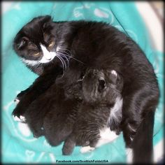 Ceilidh With Her 3 Kittens. So Dark. 1 Black Medium Short Female, 1