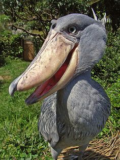 GEE! Adorable, absolutely fantastic, Shoebill!...also known as Whalehead or Shoe-billed stork, is very large stork-like bird. It lives in tropical east Africa in large swamps from Sudan to Zambia.