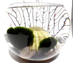 Fathers day marimo moss ball terrarium with green by EclecticZen, $29.00