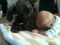 Great Dane Cuddles With Baby  =)