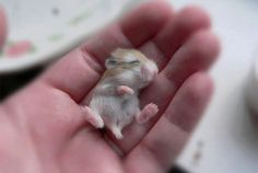 Sleeping baby hamster. Why would anyone promote its murder? Don't kill, love animals.