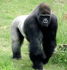 400 pound The Silver Back Gorilla |
