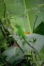 Juvenile Green Iguana Photos, Costa Rica