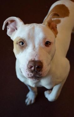 Major is an adoptable Pit Bull Terrier searching for a forever family near Clovis, CA. Use Petfinder to find adoptable pets in your area.