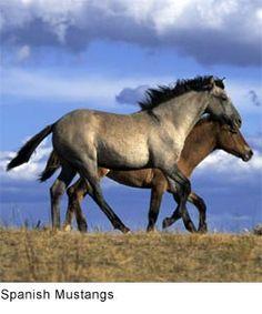 Spanish Mustangs...