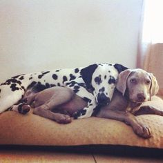 Do these spots fit me? @tybly a dalmation and a weimaraner :O <3