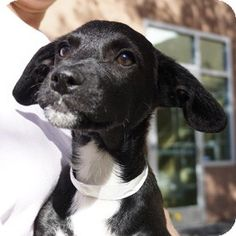 Walnut Creek, CA - Beagle Mix. Meet Maturango a Puppy for Adoption.