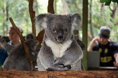 Yoda Koala.