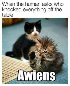 Awiens cat