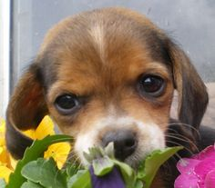 I must have a little pocket beagle one day :)