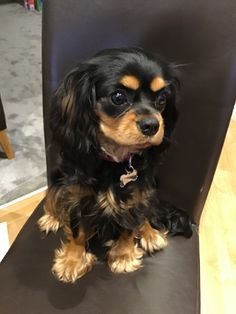 Find Out More On Smart Cavalier King Charles Spaniel Size King Charles Puppy, Cavalier King Charles Dog, Super Cute Animals, Cute Baby Animals, Cute Puppies, Cute Dogs, Cavalier King Spaniel, Puppy Palace, Cute Animal Photos