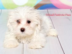 A Maltese brings home a life full of kisses, wagging tails, and wet noses. That's why puppies make the perfect companions. Find your perfect match at Petland Pembroke Pines.