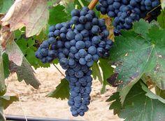 La variedad de uva que predomina en la zona es la tempranillo. Los vinos jóvenes que se producen son limpios y vivos, mientras los vinos de guarda, crianzas, reservas y grandes reservas son estructurados, , amplios y de prolongado posgusto. Los crianzas casan perfectamente con los asados, los reservas con los platos de caza y los rosados con pastas y arroces, platos típicos de la zona. Fruit, Food, Gastronomia, Hunting, Wine, Essen, Meals, Yemek, Eten