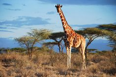 """#Giraffes #Kenya 