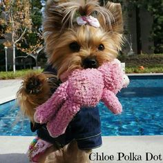 Discover Yorkshire Terrier Facts Pet Dogs Source by . The post Yorkshire Terrier Silver appeared first on Dogs and Diana. Yorkies, Yorkie Puppy, Cute Puppies, Cute Dogs, Dogs And Puppies, Poodle Puppies, Yorshire Terrier, Bull Terriers, Yorkshire Terrier Puppies