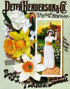 Henderson Daffodils Vintage Flowers