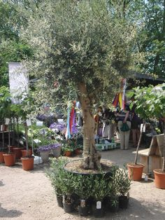 decorated olive tree
