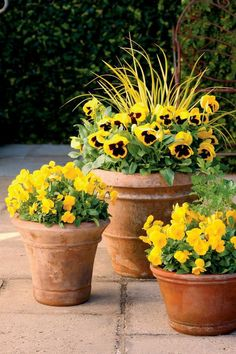 Pansies - 10 Flowers That Thrive in Full Sun - Southernliving. Pansies are the easiest way for new and experienced gardeners to bring cheer to a fall garden. So long as they have full sun, pansies will thrive in flowerbeds or containers. Full Sun Container Plants, Full Sun Plants, Container Flowers, Ivy Plants, Patio Plants, Plants That Love Sun, Fall Potted Plants, Full Sun Annuals, Full Sun Garden