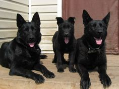 Black German Shepherd - 27 Pictures