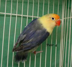 Double factor violet yellow faced fischer lovebird