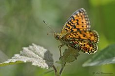 Photo Small Pearl-bordered Fritillary by Ari Parviainen on 500px
