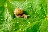caracol : Después de la lluvia. Caracol y el agua cae sobre hojas de color verde