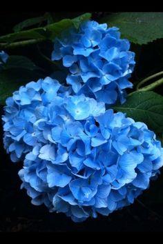 ❀ Blue Hydrangea ✾