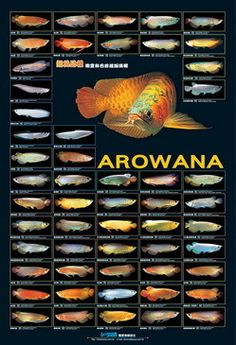 Azoo Aquarium Decor, Arowana Poster on sale. This is the ultimate Arowana poster including 54 varieties with scientific names. This is perfect for the fish room of a arowana hobbyist. Tropical Freshwater Fish, Tropical Fish Aquarium, Freshwater Aquarium Fish, Wall Aquarium, Aquarium Stand, Aquarium Design, Aquarium Fish Tank, Planted Aquarium, Fish Chart