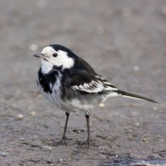 Pied wagtail - my joint favourite alongside pigeons.