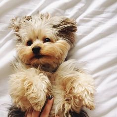 Yorkie puppy wants belly rub NOW!