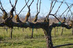 Grape vine and trellis