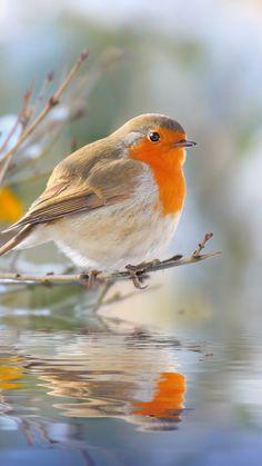 The European Robin (Erithacus rubecula) sitting on the twig. Pretty Birds, Love Birds, Beautiful Birds, Animals Beautiful, Big Garden Birdwatch, Animals And Pets, Cute Animals, European Robin, Photo Animaliere