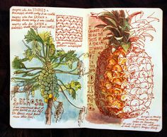Sketchbook, Pineapple