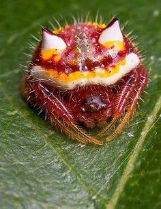 Araña originaria de Australia. Su nombre científico es Poecilopachys Australasia.