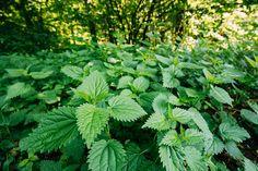 Žihľava je takmer magická bylina. Pri týchto všetkých problémoch vám dokáže pomôcť - Onlineslečna Parsley, Herbs, Health, Health Care, Herb, Salud, Medicinal Plants