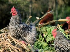 My chooks are like me: they'd usually just rahther be outside, thank you very much.