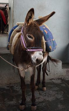 Too Cute To Ride - Donkey