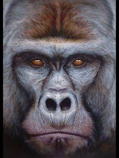 Regard gorille