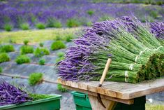If you don't have lavender in your own garden, no worries — we have lots! (Understatement of the week!) The harvest of our 30,000+ plants is will underway and we have millions of fragrant lavender flowers to share. Lavender Crafts, Lavender Sachets, Lavender Fields, Lavender Flowers, Cut Flowers, Growing Lavender, Lavender Lemonade, Market Garden, Lavandula Angustifolia