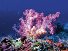 Vibrant coral in the Maldives.