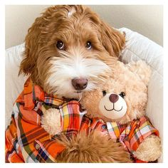 How Chihuahuas! I want this adorable doggie! Reagandoodle and friend. Reagandoodle is a standard sized Labradoodle from Australia Animals And Pets, Baby Animals, Funny Animals, Cute Animals, Cute Puppies, Cute Dogs, Dogs And Puppies, Doggies, Funny Dog Pictures